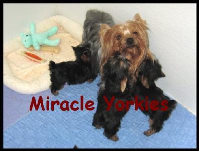 Yorkies Yorkshire Terriers Yorkie Breeder Nc North Carolina Yorkshire Terrier