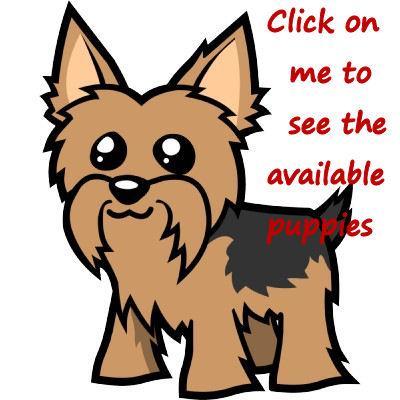 Yorkies Yorkshire Terriers Yorkie Breeder Nc North Carolina