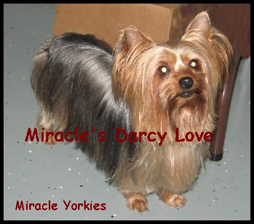 Haircuts For Yorkshire Terriers. Yorkies, Yorkshire Terriers