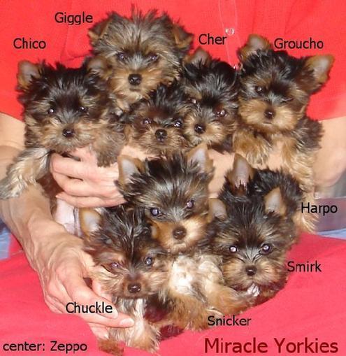 yorkie pups presentment