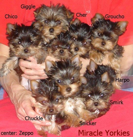 Yorkies Yorkshire Terriers Yorkie Breeder Nc North Carolina
