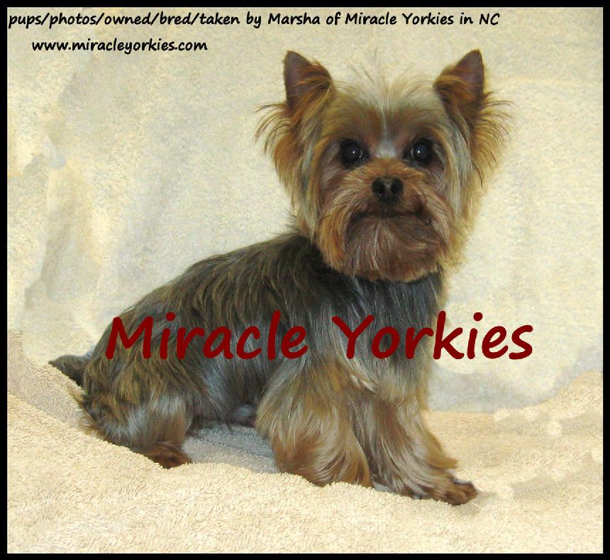 Yorkies, Yorkshire Terriers, Yorkie breeder NC, North